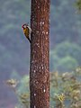 Black-rumped Flameback (27279518483).jpg