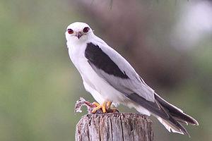 Elanus - Black-shouldered kite (Elanus axillaris)