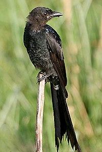 Black Drongo I IMG 7924.jpg