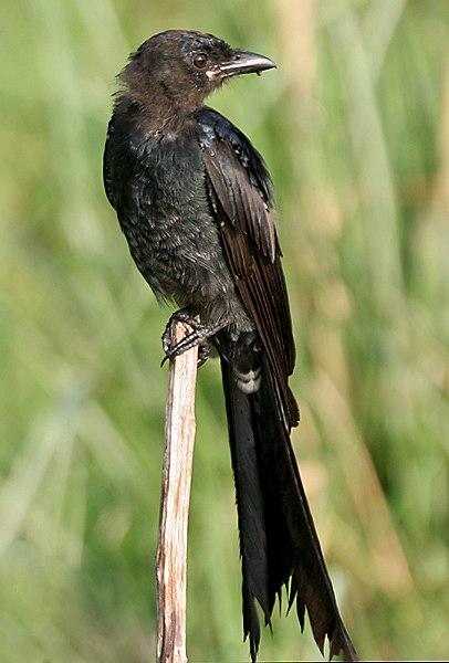 Black Drongo I IMG 7924