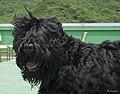 Black Russian Terrier (블랙 러시안 테리어).jpg