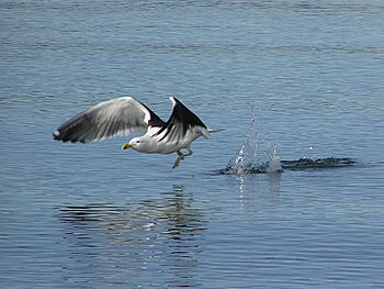 Black backed gull takeoff.jpg