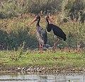 Black stork (Ciconia nigra) in Nepal 2019 039.jpg