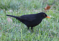 Blackbird in Madrid (Spain) 08.jpg