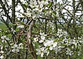 Blackthorn in bloom - geograph.org.uk - 1278673.jpg