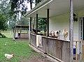 Blackwater Stables - Free Range Chickens - panoramio.jpg