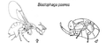 Blastophaga psenes2.png