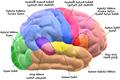 Blausen 0102 Brain Motor&Sensory (flipped) ar.png