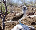 Blue-footed booby (47945217101).jpg