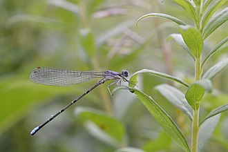 Damselfly - Female blue-fronted dancer