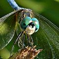 Blue Dasher (Pachydiplax longipennis) - Detail.jpg