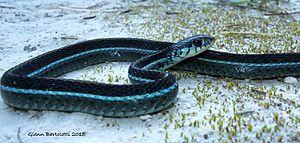 Eastern garter snake - Thamnophis sirtalis similis, Florida