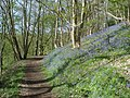 Bluebell woods at Wynds Point - geograph.org.uk - 837187.jpg