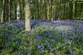 Bluebells in Woodland near Normanton Screed - geograph.org.uk - 417789.jpg