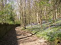 Bluebells in mid-April, Cromwell Wood Lane, Southowram - geograph.org.uk - 404280.jpg