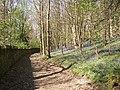Bluebells in mid-April, Cromwell Wood Lane, Southowram - geograph.org.uk - 404280.jpg
