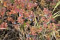 Blueberry shrub.jpg