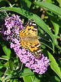 Bolboreta Painted Lady butterfly.jpg