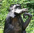 Bonobo5 CincinnatiZoo.jpg