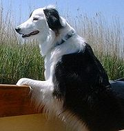 "The image ""http://upload.wikimedia.org/wikipedia/commons/thumb/8/85/Border_collie.jpg/180px-Border_collie.jpg"" cannot be displayed, because it contains errors."