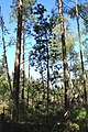 Borovice blatka 1.jpg