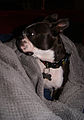 Boston terrier in profile, arising from its microfiber burrow.jpg