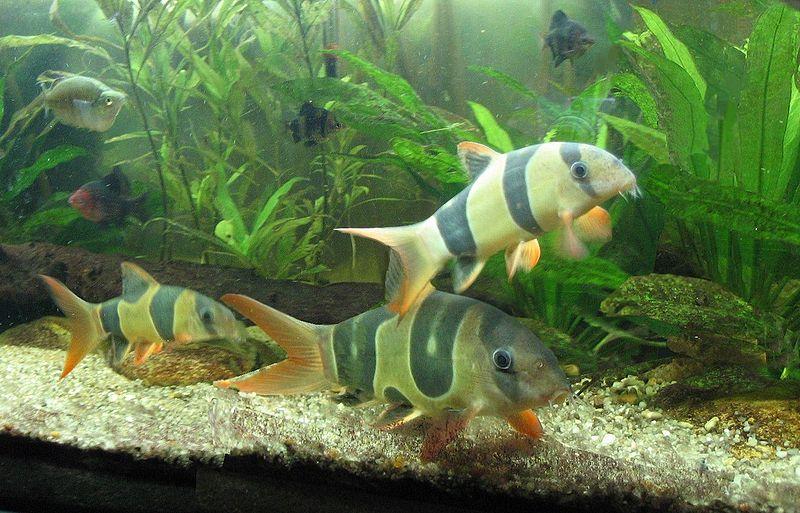 File botia macracanthus by wikimedia commons for Jardiland aquarium