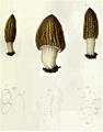 Boudier - Morchella eximia.png