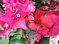 Bougainvillea glabra of Bangladesh 09.jpg