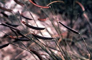 Bouteloua gracilis - Image: Bouteloua gracilis