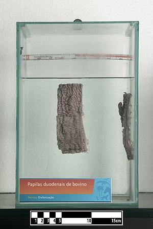 Ruminantia - Image: Bovine duodenal papilla