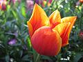 Bowral Tulip.jpg