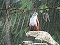 Brahminy Kite (7856501570).jpg