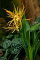 Brassada Orange Delight 1001 Orchids.jpg