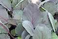 Brassica oleracea Ruby Perfection 0zz.jpg