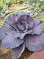 Brassica oleracea var capitata Rubyball.jpg