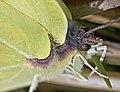 Brimstone Butterfly (25423294234).jpg