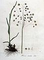 Briza media — Flora Batava — Volume v4.jpg