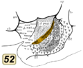 Brodmann area 52 inside lateral sulcus.png