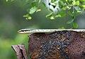 Bronzeback (Dendrelaphis tristis).jpg