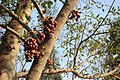 Buah Loa (Ficus racemosa).jpg