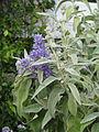 Buddleja salviifolia (17533867613).jpg