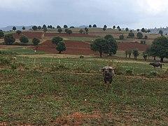 Buffalo in Kalaw Township 2.jpg