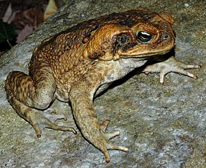 Environmental issues in Australia - Introduced cane toads threaten native species