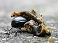 Bug moving dead snail with fly 3.jpg