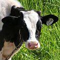 Bull-calf20100625 017.jpg