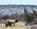 Bull Elk (6863510255).jpg