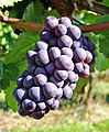 Bunch of grapes on the vine at Sweet Cheeks Winery.jpg