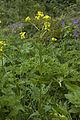 Bunias orientalis frechencourt 80 12062008 3.jpg