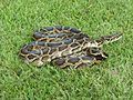 Burmese python (6887388927).jpg